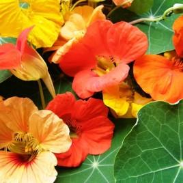 Flower Essence – Nasturtium