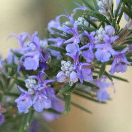 Flower Essence – Rosemary