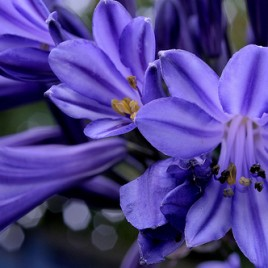 Flower Essence – Agapanthus