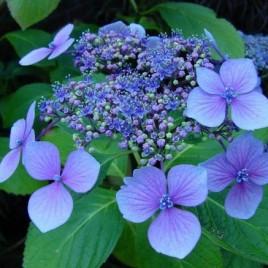 Flower Essence – Hydrangea
