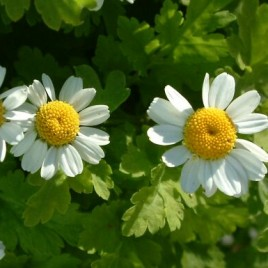 Flower Essence – Feverfew