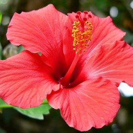 Flower Essence – Hibiscus