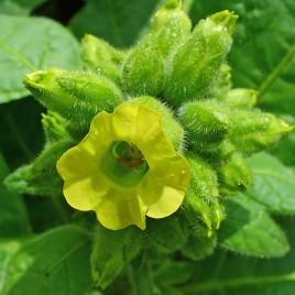 Flower Essence – Tobacco