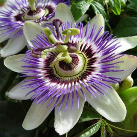 Flower Essence – Passion Flower