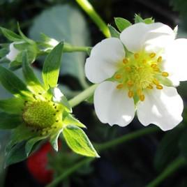 Flower Essence – Strawberry