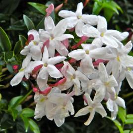 Flower Essence – Jasmine